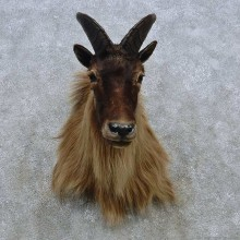 Himalayan Tahr Taxidermy Mount For Sale