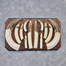 Hippo Teeth Tusk Plaque Mount #11888 For Sale @ The Taxidermy Store
