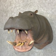 Hippopotamus Shoulder Mount For Sale #22781 @ The Taxidermy Store