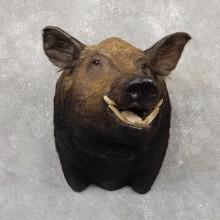 "Giant ""Hogzilla"" Taxidermy Wild Boar Shoulder Mount For Sale"