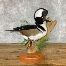 Hooded Merganser Duck Bird Mount For Sale #22475 @ The Taxidermy Store
