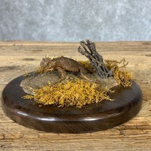 Horny Toad Taxidermy Mount For Sale #21376 @ The Taxidermy Store