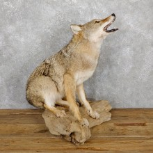 Howling Coyote Life Size Mount #19485 For Sale @ The Taxidermy Store