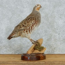 Perching Hungarian Grey Partridge