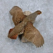 Flying Grey Partridge Taxidermy Bird Mount For Sale
