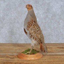 Standing Grey Partridge Taxidermy Bird Mount For Sale