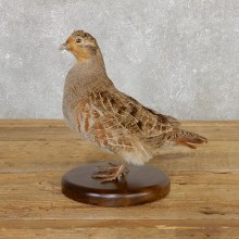 Hungarian Grey Partridge Taxidermy Mount #19809 For Sale @ The Taxidermy Store