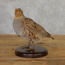 Hungarian Grey Partridge Taxidermy Mount #19810 For Sale @ The Taxidermy Store