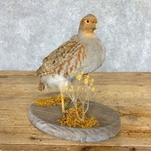 Hungarian Grey Partridge Taxidermy Mount #21765 For Sale @ The Taxidermy Store