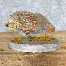 Hungarian Grey Partridge Taxidermy Mount #21771 For Sale @ The Taxidermy Store