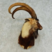 Hybrid Ibex Shoulder Mount For Sale #16373 @ The Taxidermy Store