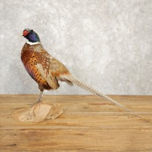 Hybrid Abyssinian Ringneck Pheasant Bird Mount For Sale #20626 @ The Taxidermy Store