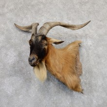 Hybrid Ibex Taxidermy Wall Pedestal Mount For Sale