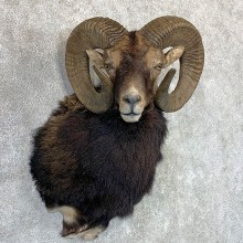 Hybrid Sheep Shoulder Mount For Sale #22972 @ The Taxidermy Store