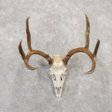 Hybrid Whitetail Mule Deer Skull European Mount For Sale #20043 @ The Taxidermy Store