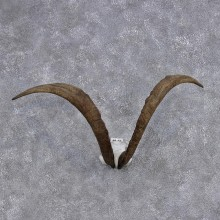 Hybrid Ibex Taxidermy Horns #10537 For Sale @ The Taxidermy Store