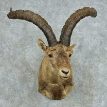 Gredos Ibex Shoulder Taxidermy Mount #13680 For Sale @ The Taxidermy Store