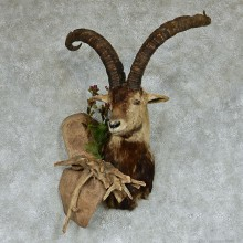 Beceite Ibex Shoulder Taxidermy Mount #13132 For Sale @ The Taxidermy Store