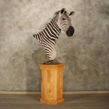 Zebra Pedestal Taxidermy Mount