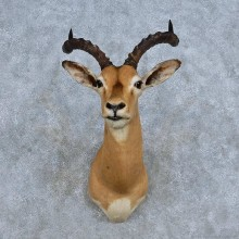 African Impala Shoulder Mount For Sale #14330 @ The Taxidermy Store