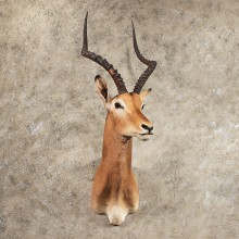 African Impala Shoulder Mount #11417 - The Taxidermy Store