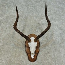 Impala Skull & Horn European Mount For Sale #16360 @ The Taxidermy Store
