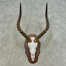 Impala Skull & Horn European Mount For Sale #16362 @ The Taxidermy Store