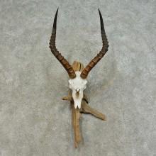Impala Skull & Horns European Taxidermy Mount For Sale