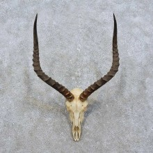 Impala Skull & Horn Taxidermy Mount For Sale