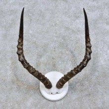 African Impala Horn Plaque Taxidermy Mount For Sale