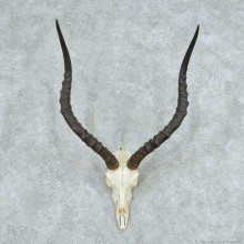 Impala Skull Horns European Mount #13726 For Sale @ The Taxidermy Store