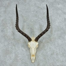 African Impala Skull & Horn European Mount