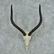 Impala Skull Horns European Mount #13730 For Sale @ The Taxidermy Store