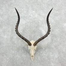 Impala Skull & Horn European Mount For Sale #18091 @ The Taxidermy Store