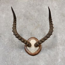 Impala Skull & Horn European Mount For Sale #19013 @ The Taxidermy Store