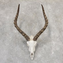 Impala Skull & Horn European Mount For Sale #19014 @ The Taxidermy Store