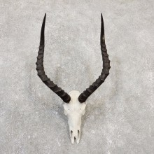 Impala Skull & Horn European Mount For Sale #20047 @ The Taxidermy Store
