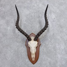 Impala Skull & Horn European Mount For Sale #18724 @ The Taxidermy Store