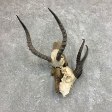 Impala & Springbok European Mount For Sale #21947 @ The Taxidermy Store