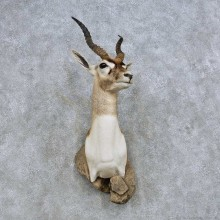 India Blackbuck Shoulder Mount For Sale #14610 @ The Taxidermy Store