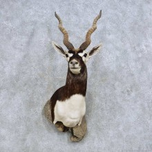 India Blackbuck Shoulder Mount For Sale #14611 @ The Taxidermy Store