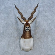 India Blackbuck Shoulder Mount For Sale #15287 @ The Taxidermy Store
