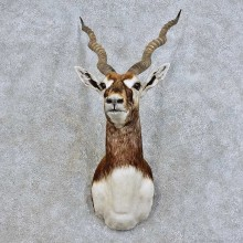 India Blackbuck Shoulder Mount For Sale #15979 @ The Taxidermy Store