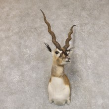 India Blackbuck Shoulder Mount For Sale #22509 @ The Taxidermy Store