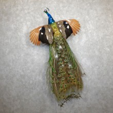 Indian Peacock Bird Mount For Sale #19565 @ The Taxidermy Store