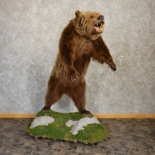 Inland Grizzly Bear Mount For Sale #20080 @ The Taxidermy Store
