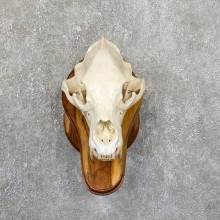 Inland Grizzly Bear Skull Mount For Sale #19530 @ The Taxidermy Store
