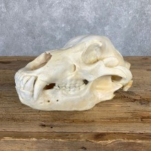 Inland Grizzly Bear Skull Mount For Sale #22059@ The Taxidermy Store