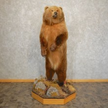 Interior Alaskan Grizzly Bear Mount For Sale #21385 @ The Taxidermy Store