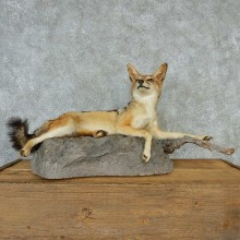 Black Backed Jackal Taxidermy Mount #13202 For Sale @ The Taxidermy Store